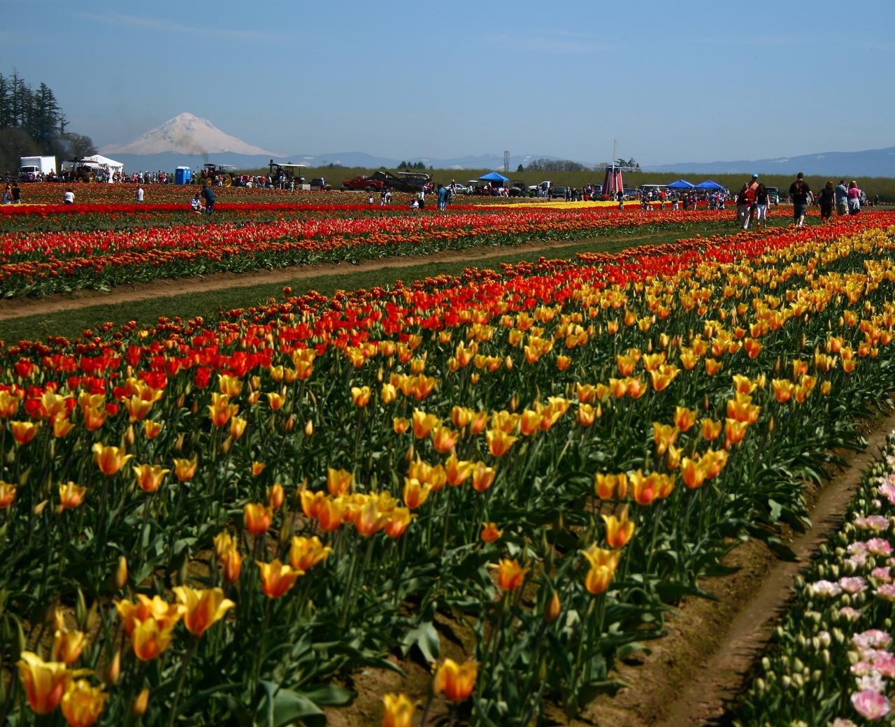 Wooden Shoe Tulip Festival 2020.Wooden Shoe Tulip Festival Portland