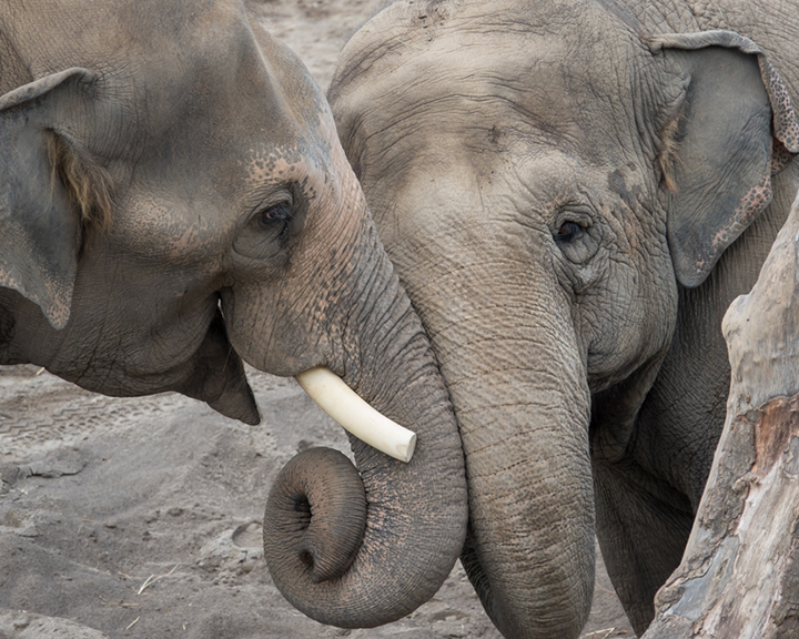 two elephants touching trunks