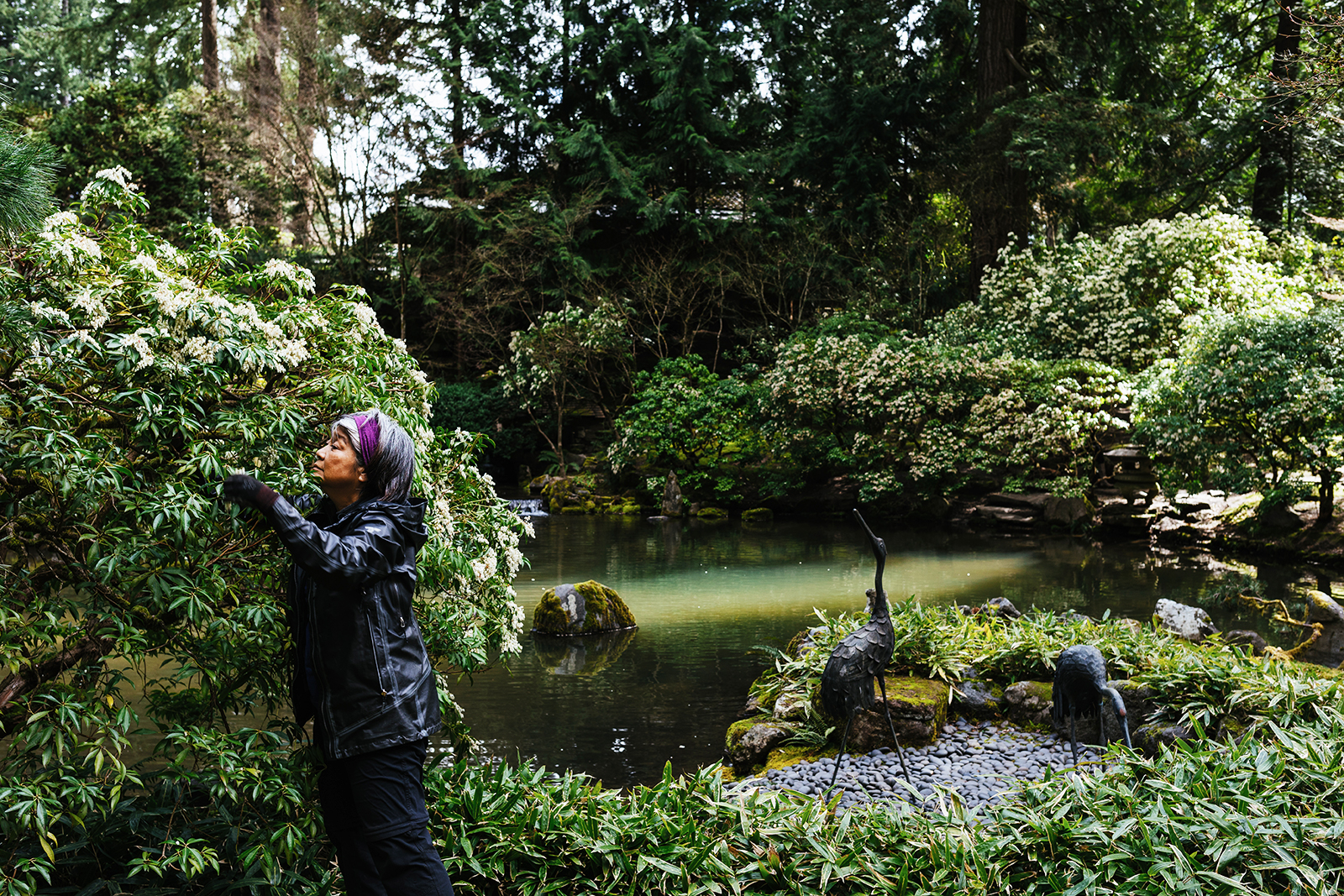 A gardener attends to a tree within Portland Japanese Garden