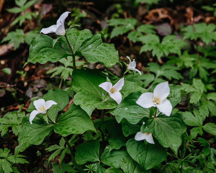 a patch of tri-pedaled white trillium flowers